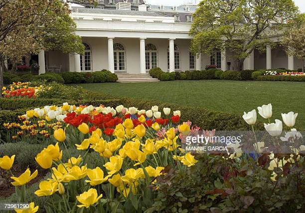 Washington, UNITED STATES: Tulips are shown in full bloom in the Rose Garden of the White House in Washington, DC, 24 April, 2007. AFP PHOTO/MANNIE...