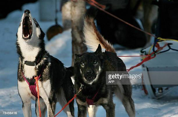 Twotime Iditarod Champion Norwegian Robert Sorlie's Alaskan Huskie howl and yelp as he prepares to run his team through a practice trail in Wasilla...