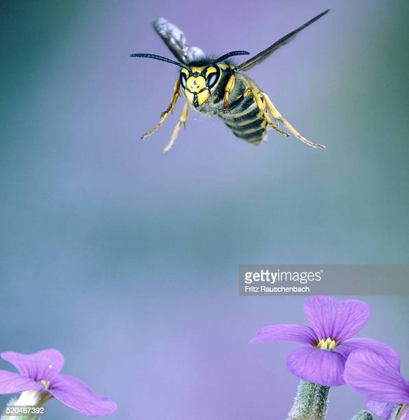 Wasp approaching a flower