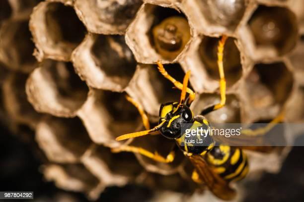 wasp at  early summer - nido di vespe foto e immagini stock