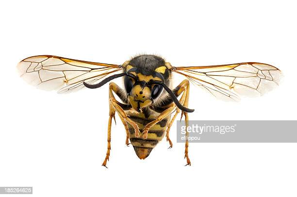 wasp closeup - pest stock photos and pictures
