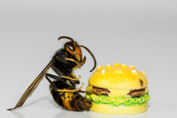 wasp eating a hamburger - murder hornet stock pictures, royalty-free photos & images