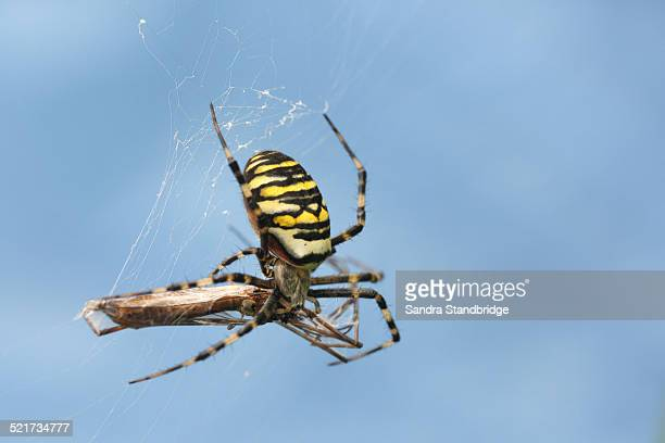 A Wasp female Spider wrapping up it's dinner
