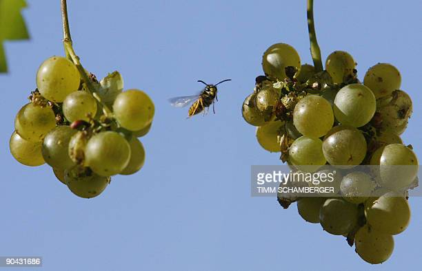 A wasp flies towards grapes in the southern German city of Nuremberg on September 8 2009 Wasps are particularly active at this time of the year AFP...