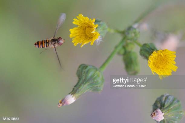 Wasp flying towards a flower