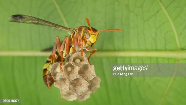 wasp guarding - paper wasp stock pictures, royalty-free photos & images