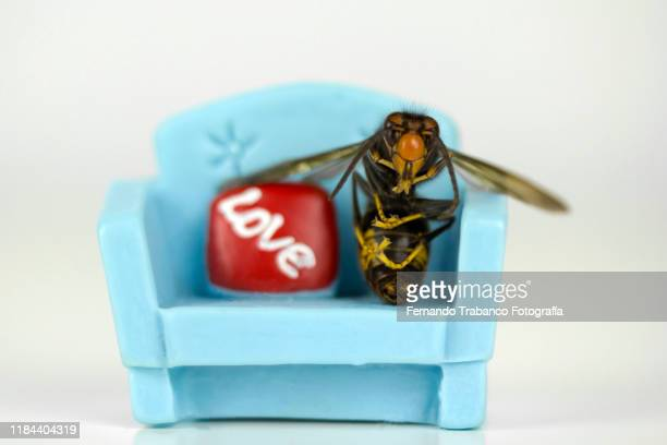 wasp in love - murder hornet stock pictures, royalty-free photos & images