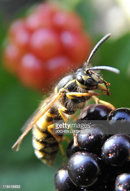 A wasp lands on some blackberries in the northern German city of Hanover on July 20 2011 The wasp population is set to increase during the summer...