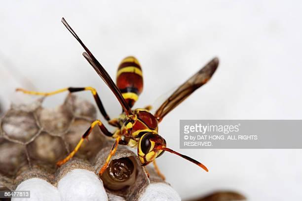 wasp, lavae and hive - nido di vespe foto e immagini stock