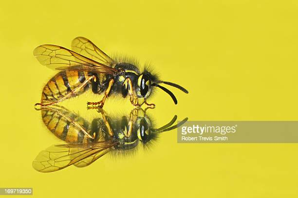 Wasp mirror reflection with yellow background