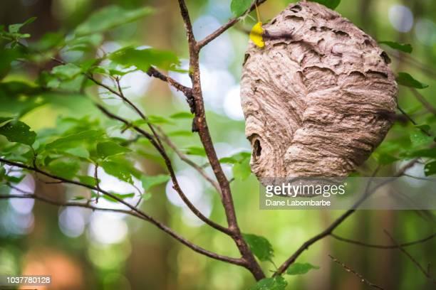 wasp nest hanging from a tree - nido di vespe foto e immagini stock