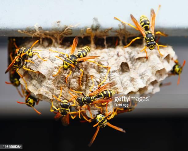 wasp nest macro - calabrone foto e immagini stock