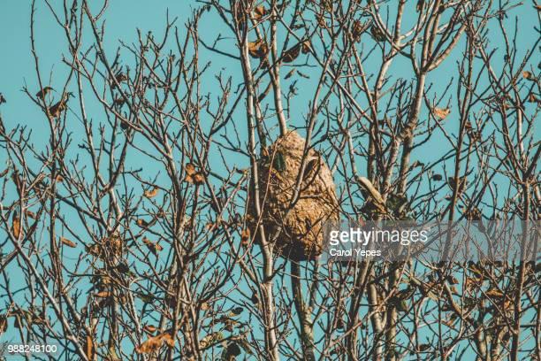 wasp nest on tree - nido di vespe foto e immagini stock