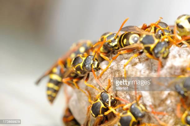 Wespe nest