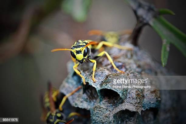 wasp nest - nido di vespe foto e immagini stock
