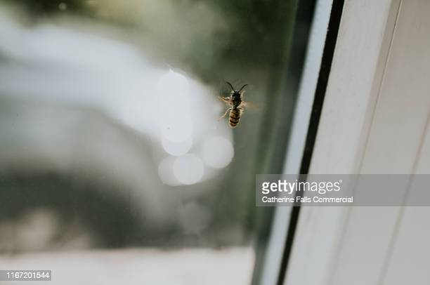 wasp on a window - sting stock pictures, royalty-free photos & images