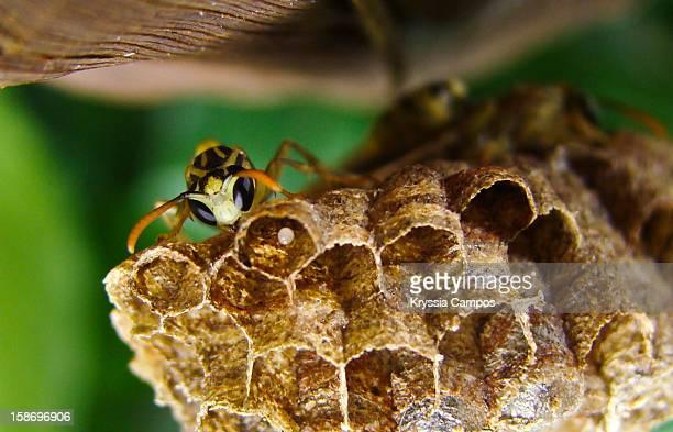 wasp on nest with egg - nido di vespe foto e immagini stock
