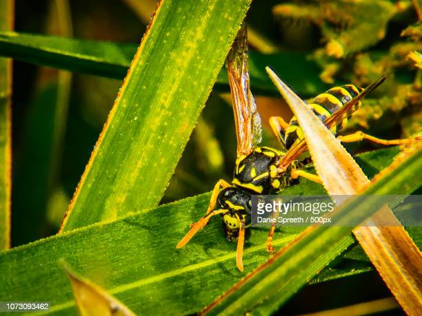 wasp on the prowl... - african wasp stock pictures, royalty-free photos & images