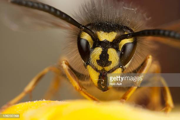 Wasp on yellow petal