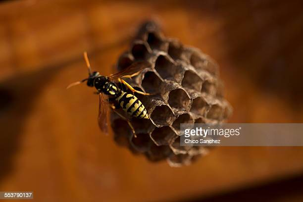 A wasp perches in a wasps nest in Arcos de la Frontera, Cadiz province, Andalusia, Spain