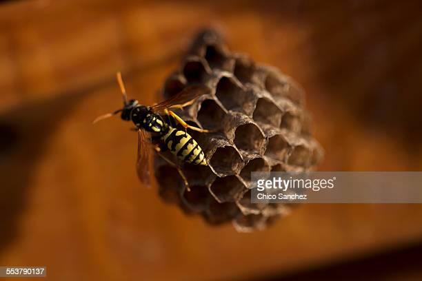 a wasp perches in a wasps nest in arcos de la frontera, cadiz province, andalusia, spain - nido di vespe foto e immagini stock