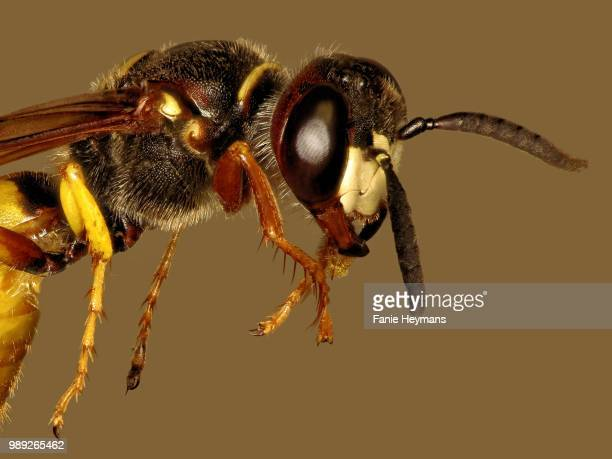 wasp photo stacking - african wasp stock pictures, royalty-free photos & images
