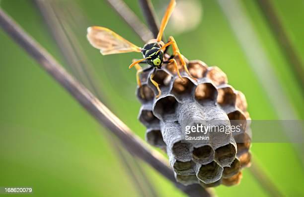 epos - nido di vespe foto e immagini stock