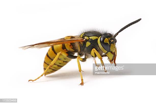 Wasp (isolated)