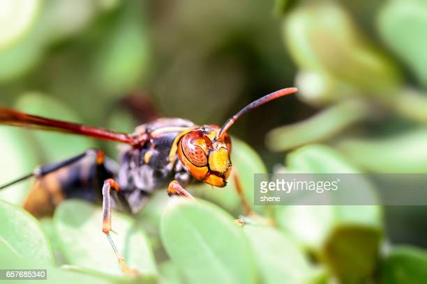 wasp - asian hornet stock pictures, royalty-free photos & images