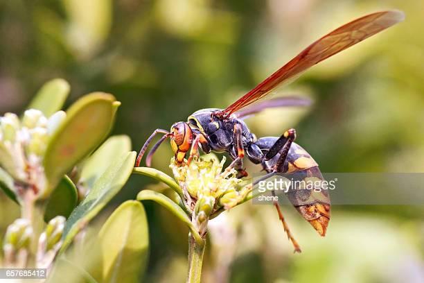 wasp - calabrone foto e immagini stock