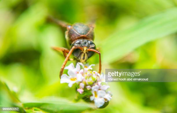 wasp - african wasp stock pictures, royalty-free photos & images