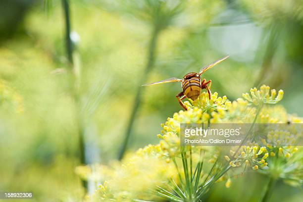Wasp pollinating fennel flowers