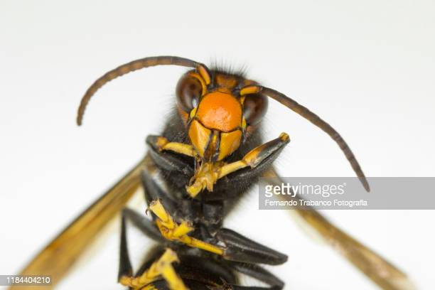 wasp portrait - murder hornet stock pictures, royalty-free photos & images