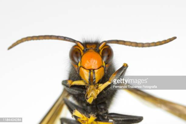 wasp portrait - japanese giant hornet stock pictures, royalty-free photos & images