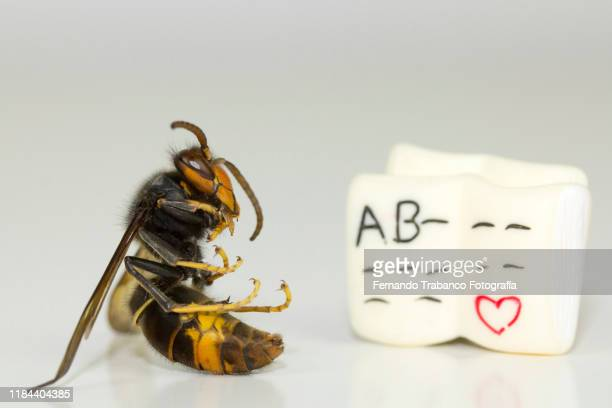 wasp reading - japanese giant hornet stock pictures, royalty-free photos & images