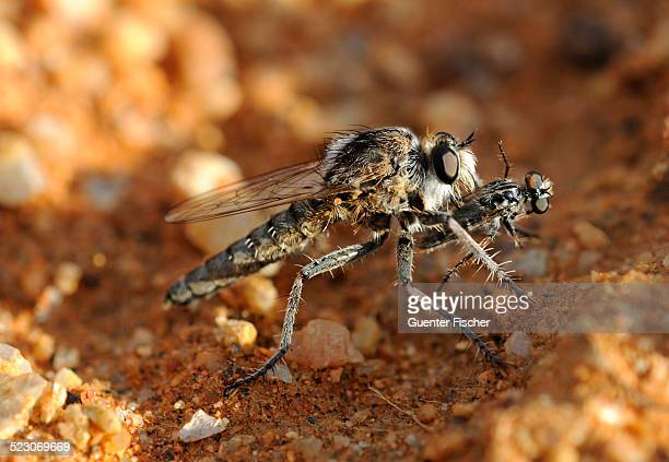 wasp robber fly -asilidae- with prey, goegap nature reserve, namaqualand, south africa, africa - african wasp stock pictures, royalty-free photos & images