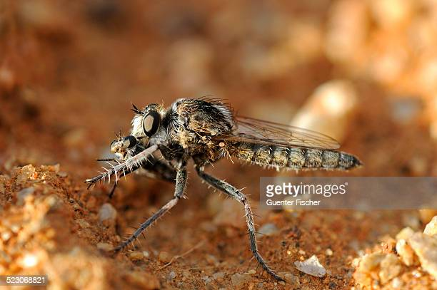 wasp robber fly with prey, goegap nature reserve, namaqualand, south africa, africa - african wasp stock pictures, royalty-free photos & images