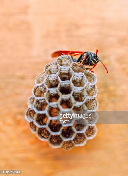 a wasp sits on a nest to lay larvae in spring for breeding - nido di vespe foto e immagini stock
