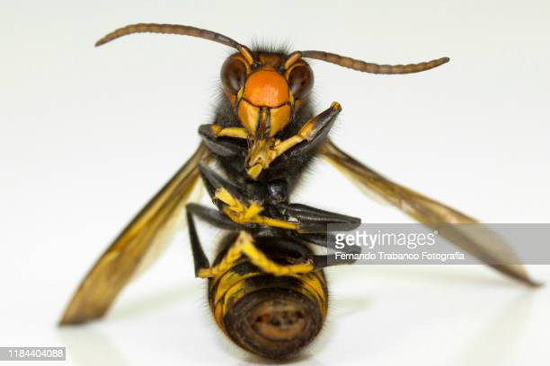 wasp sitting - murder hornet stock pictures, royalty-free photos & images