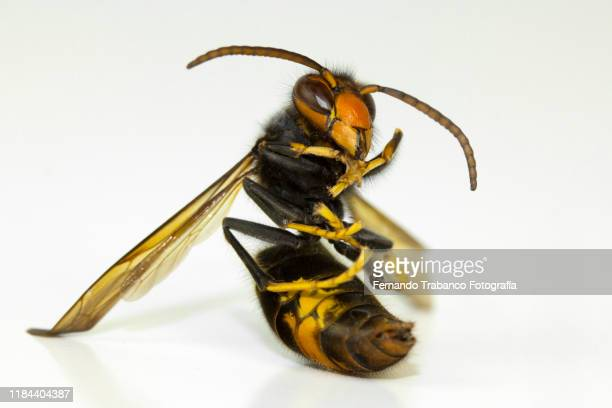 wasp sitting - japanese giant hornet stock pictures, royalty-free photos & images