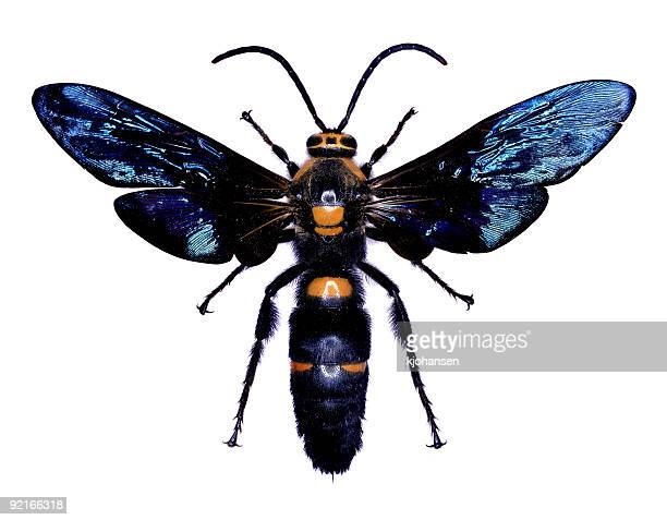 Wespe und Sträuchern