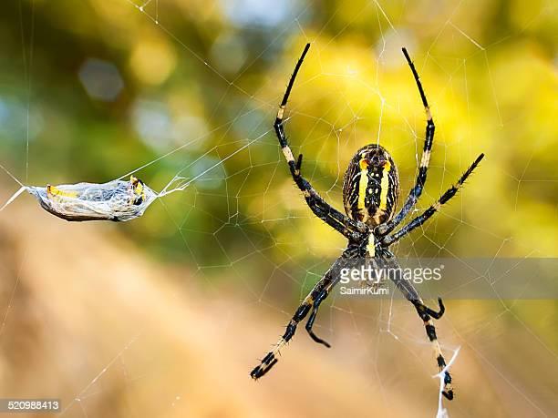 Wasp spider, Argiope Bruennichi and its prey.