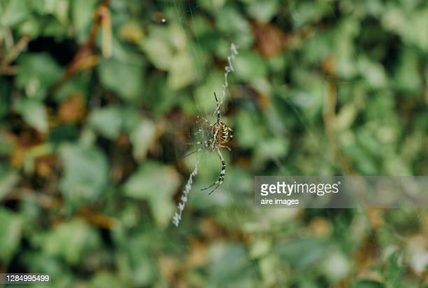 wasp spider (argiope bruennichi) of yellow and black back in its web next to vegetation- stock photo - ニワオニグモ ストックフォトと画像