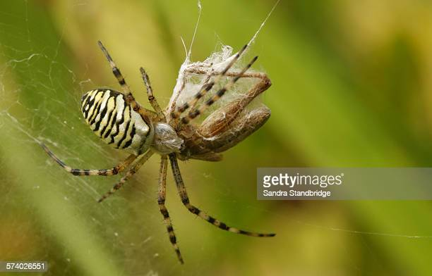 a wasp spider with a grasshopper lunch - hertford hertfordshire stock pictures, royalty-free photos & images
