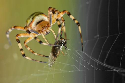 Wasp Spider with pray frontview 92098522