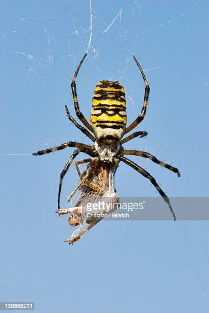 Wasp spider (Argiope bruennichi) with prey wrapped in its net