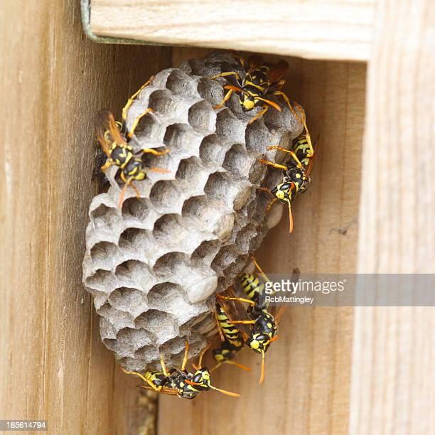 wasps e nest - nido di vespe foto e immagini stock