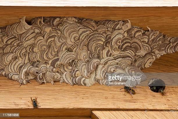 Wasps making a wood pulp nest on oak beams United Kingdom