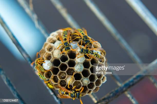 wasps' nest - nido di vespe foto e immagini stock