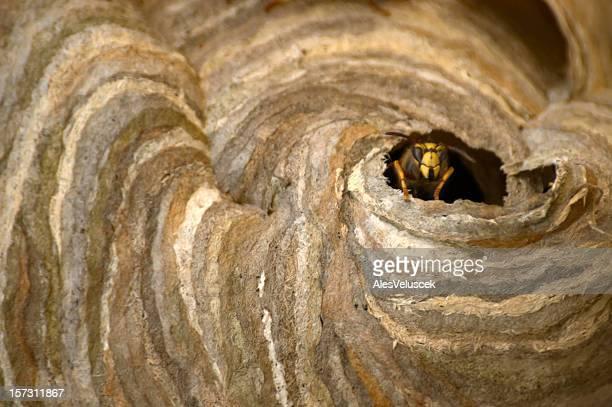 nido di vespe - nido di vespe foto e immagini stock